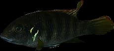 "Benitochromis sp. ""Eseka"""