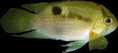 Cleithracara maronii