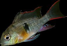 Mikrogeophagus altispinosus