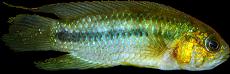 Nanacara aureocephalus