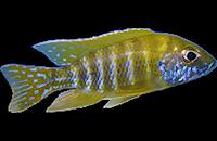Aulonocara beanschi