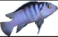 Labidochromis chizumulae