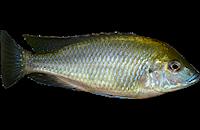 Mylochromis plagiotaenia