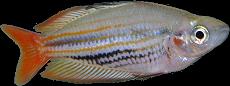Melanotaenia trifasciata