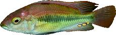 "Haplochromis sp. ""flameback"""