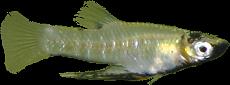 Girardinus metalicus
