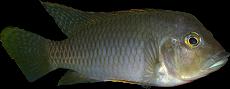 Ctenochromis polli
