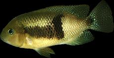 Chuco intermedium du Rio Bascan