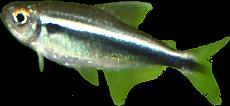 Hyphessobrycon herbertaxelrodi