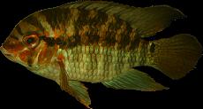 """Krobia sp. """"Xingu"""""""