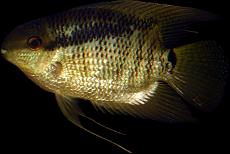 Mesonauta guyanae