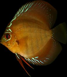 Symphysodon aequifasciata