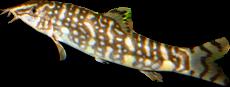 Bitia lochata