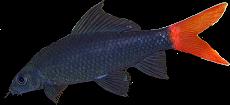 Epalzeorhynchus bicolor