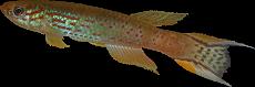 Aphyosemion austral