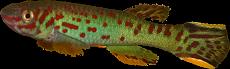 Fundulopanchax scheelii