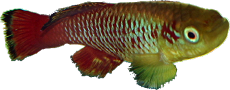 Notobranchius guntheri