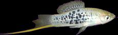Xiphophorus nezahualcoyolt